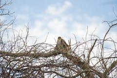 Il falco del bottaio giovanile appollaiato Fotografia Stock