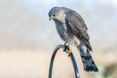 Il falco del bottaio pranza sulla sua preda Fotografia Stock