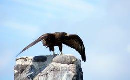 Il falco del Galapagos cattura l'isola di Espanola di volo Fotografia Stock