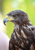 Il falco di Harris Fotografia Stock