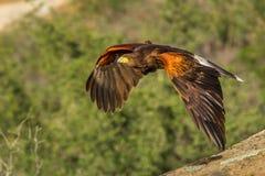 Il falco di Harris di volo Immagine Stock