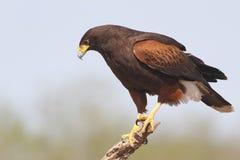 Il falco di Harris si è appollaiato in un albero - il Texas Fotografia Stock Libera da Diritti