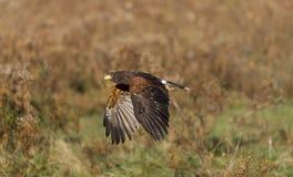 Il falco di Harris (unicinctus di Parabuteo) Immagini Stock