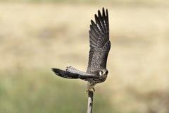 Il falco di migrazione ha spanto le ali sul ceppo in natura Fotografie Stock