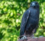 Il falco di Swainson con l'operatore Immagini Stock