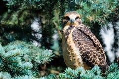Il falco di Swainson giovanile (swainsoni del Buteo) Fotografie Stock