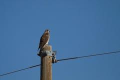 Il falco di Swainson, swainsoni del Buteo immagine stock libera da diritti