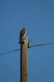 Il falco di Swainson, swainsoni del Buteo fotografie stock