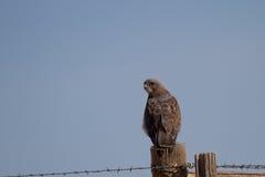 Il falco di Swainson, swainsoni del Buteo immagini stock