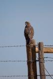 Il falco di Swainson, swainsoni del Buteo immagini stock libere da diritti