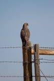 Il falco di Swainson, swainsoni del Buteo fotografia stock