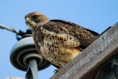 Il falco di Swainson (swainsoni del Buteo) Fotografia Stock Libera da Diritti