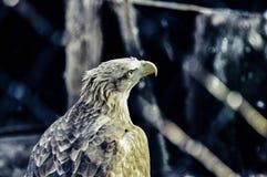 Il falco guarda costantemente Fotografie Stock Libere da Diritti
