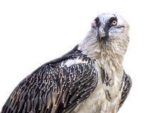 Il falco Lammergeier della famiglia di rapace Immagini Stock