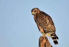 Il falco messo rosso Fotografie Stock Libere da Diritti