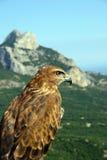 Il falco osserva fuori per l'estrazione, sedendosi sopra a Fotografia Stock Libera da Diritti