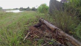 Il falco pecchiaiolo nei nidi dissotterrati della vespa video d archivio