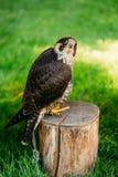 Il falco pellegrino sul fondo dell'erba verde Immagini Stock