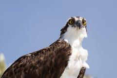 Il falco pescatore attento immagine stock libera da diritti