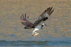 Il falco pescatore pesca un pesce dal lago e lo afferra in sue matrici Fotografia Stock Libera da Diritti