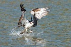 Il falco pescatore pesca un pesce dal lago e lo afferra in sue matrici Fotografie Stock