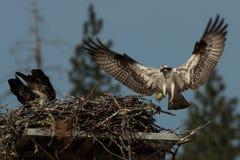 Il falco pescatore porta un pesce al nido per un pulcino recentemente covato (Pentola Immagine Stock Libera da Diritti