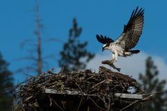 Il falco pescatore porta un pesce enorme al nido per un pulcino recentemente covato (Haliaetus del Pandion) l'Oregon, lago emigra Fotografia Stock Libera da Diritti