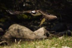 Il falco pescatore prende l'alosa sulla costa di Maine Fotografie Stock