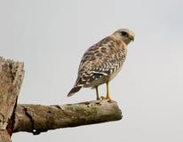 il falco Rosso-messo fissa alla macchina fotografica Fotografia Stock