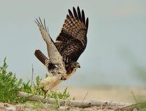Il falco Rosso-Munito sta decollando Fotografia Stock Libera da Diritti