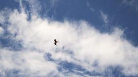 Il falco vola in cielo Colpo perfetto per il documentario della natura Libertà, argomenti di viaggio archivi video