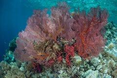 Il fan di Mar Rosso sulla scogliera diminuisce Fotografia Stock Libera da Diritti