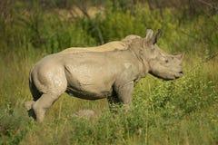Il fango ha coperto il vitello di rinoceronte Fotografia Stock
