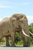 Il fango ha coperto l'elefante di toro Immagine Stock Libera da Diritti