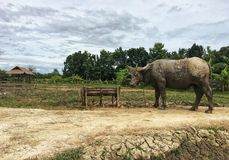 Il fango sporco del bufalo tailandese era supporto all'aperto fotografia stock libera da diritti
