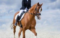 Il fascino del cavallo rosso Fotografie Stock
