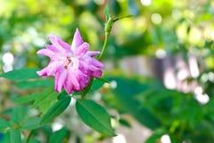 Il fatato rosa è aumentato in giardino Immagini Stock