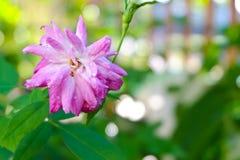 Il fatato rosa è aumentato in giardino Fotografia Stock