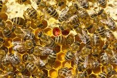 Il favo ha riempito di nettare, di miele e di polline Immagini Stock