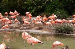 Il fenicottero o il fenicottero rosa è un grande uccello fotografie stock libere da diritti