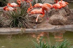 Il fenicottero o il fenicottero rosa è un grande uccello Dettaglio di piccola indicazione da una madre immagine stock libera da diritti