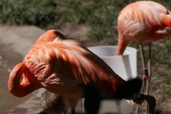 Il fenicottero timido spia il fotografo allo zoo fotografia stock