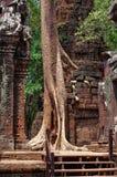Il fico alto ha germogliato tramite le pareti in tempio di Angkor Fotografia Stock Libera da Diritti