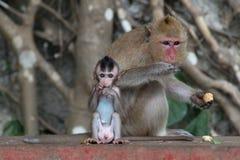 Il figlio della scimmia mangia con la sua mamma Immagini Stock