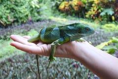 Il Fiji ha legato l'iguana Fotografie Stock Libere da Diritti