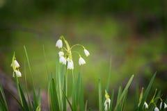 Il fiocco di neve in anticipo della molla fiorisce a marzo, vernum di leucojum, gruppo in una lettiera della molla Fotografia Stock