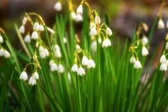 Il fiocco di neve in anticipo della molla fiorisce a marzo, vernum di leucojum, gruppo in una lettiera della molla Fotografie Stock