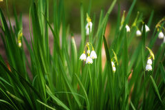 Il fiocco di neve in anticipo della molla fiorisce a marzo, vernum di leucojum, gruppo in una lettiera della molla Immagini Stock
