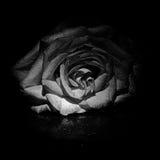 Il fiore è aumentato in bianco e nero immagini stock libere da diritti