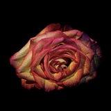 Il fiore è aumentato in acqua di portata di colore fotografie stock libere da diritti